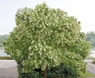 Árvore de cinza solitário da montanha Fotografia de Stock Royalty Free