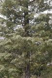 Árvore de cipreste do Arizona Imagem de Stock
