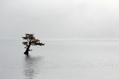 Árvore de cipreste só no lago Reelfoot fotografia de stock royalty free