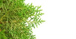 Árvore de cipreste verde no fundo isolado Fotografia de Stock Royalty Free