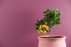 Árvore de citrino Imagens de Stock