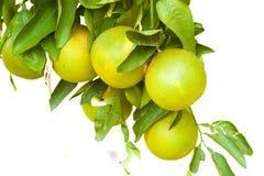 Árvore de citrino Fotos de Stock Royalty Free