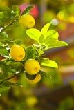Árvore de citrino Foto de Stock Royalty Free