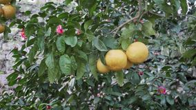 ?rvore de citrino no jardim filme
