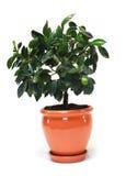 Árvore de citrino no potenciômetro Imagem de Stock