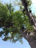 Árvore de clementina Imagem de Stock Royalty Free