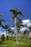 Árvore de coco Foto de Stock Royalty Free