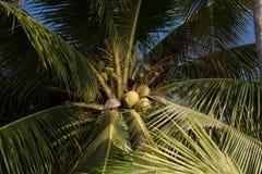 Árvore de coco Fotografia de Stock