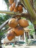 Árvore de coco - 5 Imagem de Stock