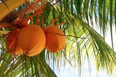 Árvore de coco alaranjada fotos de stock