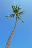 Árvore de coco alta foto de stock royalty free