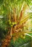Árvore de coco com cocos Fotos de Stock Royalty Free