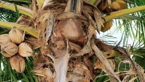 Árvore de coco com cocos video estoque