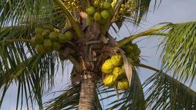 Árvore de coco completamente do close-up dos cocos em 4k filme