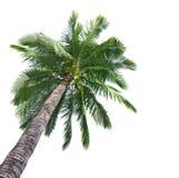 Árvore de coco da palma Foto de Stock Royalty Free