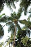 Árvore de coco grande Fotos de Stock Royalty Free