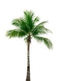Árvore de coco isolada no fundo branco usado para a arquitetura decorativa verão e conceito da praia Imagens de Stock Royalty Free