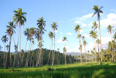 Árvore de coco Kotamobagu Imagens de Stock