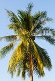 Árvore de coco na selva Imagens de Stock Royalty Free