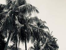 Árvore de coco no céu fotografia de stock royalty free