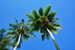 Árvore de coco no fundo bluesky Fotos de Stock
