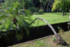 Árvore de coco resiliente foto de stock