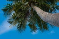 Árvore de coco sob o céu azul fotografia de stock royalty free