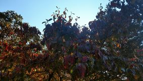 Árvore de corniso Fotografia de Stock