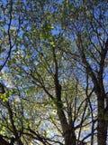 Árvore de corniso Foto de Stock Royalty Free