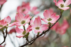 Árvore de corniso cor-de-rosa na mola imagens de stock
