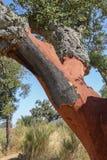 Árvore de cortiça Imagens de Stock