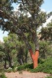 Árvore de cortiça Foto de Stock