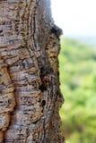 Árvore de cortiça Fotos de Stock
