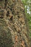 Árvore de cortiça bark cortiça abstrata do carvalho do fundo imagem de stock royalty free