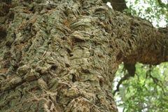 Árvore de cortiça bark cortiça abstrata do carvalho do fundo foto de stock royalty free