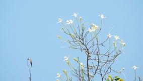 A árvore de cortiça indiana floresce mover-se com o vento video estoque