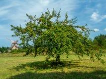 Árvore de Crabapple Fotografia de Stock