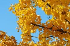 Árvore de Crohn com as folhas de bordo amarelas contra o céu azul Foto de Stock
