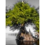 Árvore de Cypress no St Johns River imagens de stock royalty free