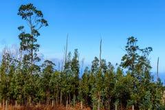 Árvore de Cypress no tempo ensolarado na ilha de Madeira Fotos de Stock Royalty Free