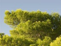 Árvore de Cypress que cresce na costa do mar de adriático Imagem de Stock