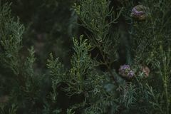 A árvore de Cypress sae da textura e do fundo Feche acima da vista das folhas do verde do cipreste Fotos de Stock