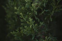 A árvore de Cypress sae da textura e do fundo Feche acima da vista das folhas do verde do cipreste Imagens de Stock