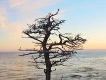 árvore de Cypress solitária Califórnia foto de stock