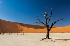 Árvore de Deadvlei Imagens de Stock