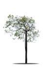 Árvore de diabo no fundo branco Imagens de Stock