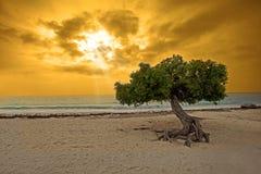Árvore de Divi fotografia de stock