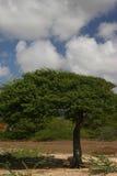 Árvore de Divi Divi Imagem de Stock Royalty Free