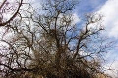 Árvore de Dormont no inverno com um fundo quebrado da nuvem Fotografia de Stock