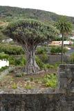 Árvore de dragão de Milenarian, Icod de los vinos imagens de stock royalty free